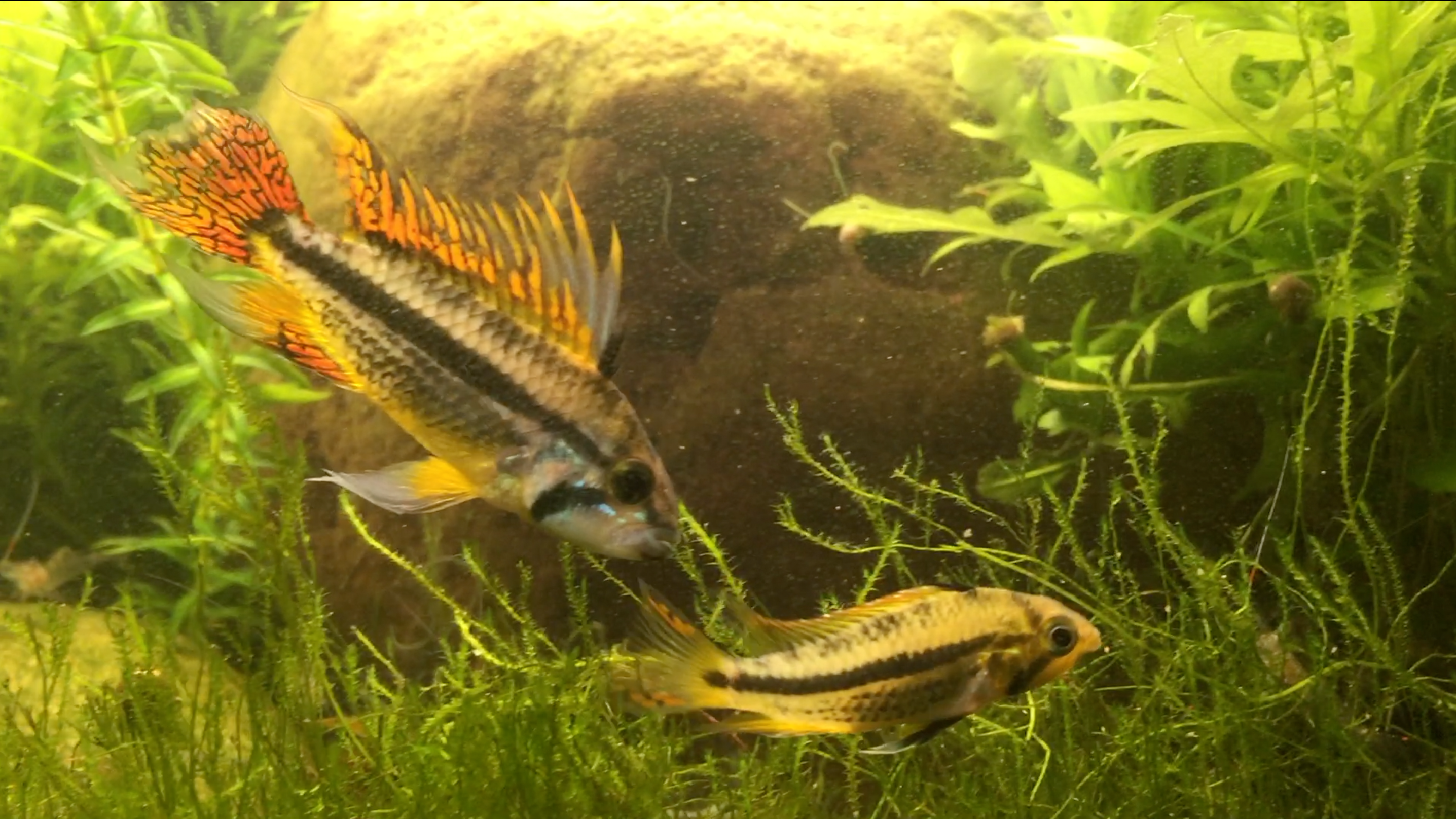 A Cacatuoides, Pre-spawn Coloration.png